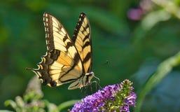 Tiger Swallowtail Butterfly oriental foto de stock