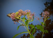 Tiger Swallowtail Butterfly oriental fotos de stock royalty free