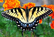 Tiger Swallowtail Butterfly oriental Photos libres de droits