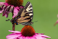 Tiger Swallowtail Butterfly oriental Photos stock