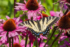 Tiger Swallowtail Butterfly oriental Image stock