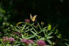Tiger Swallowtail Butterfly oriental foto de stock royalty free