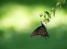 Tiger Swallowtail Butterfly oriental imagem de stock