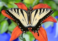 Tiger Swallowtail Butterfly oriental foto de stock