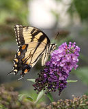 Tiger Swallowtail Butterfly oriental imagem de stock