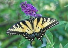 Tiger Swallowtail Butterfly oriental fotografia de stock