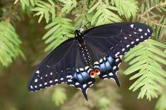 Tiger Swallowtail Butterfly oriental em um ramo do pinho imagem de stock royalty free