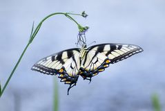 Tiger Swallowtail Butterfly oriental, Georgia State Butterfly imagens de stock