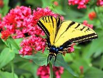 Tiger Swallowtail Butterfly orientale fotografie stock