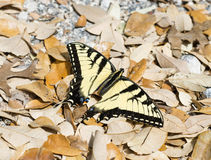 Tiger Swallowtail Butterfly Papilio Royalty Free Stock Images