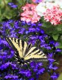 Tiger Swallowtail Butterfly Papilio Glaucas del este en Lobelia Imagen de archivo libre de regalías