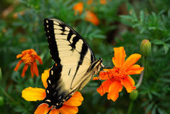 Tiger Swallowtail Butterfly (Papilio glaucus) Royalty Free Stock Photography