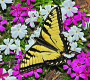 Tiger Swallowtail Butterfly (Papilio glaucus) Royalty Free Stock Images