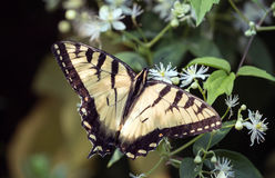 Tiger swallowtail butterfly. A tiger swallowtail butterfly perched on a flowering vine in Southern Ontario, Canada Stock Photos