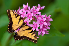 Tiger Swallowtail butterfly on pink flowers. Tiger Swallowtail butterfly feeding on pink pentas flowers stock image