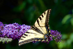 Tiger Swallowtail butterfly on purple lilac flowers Stock Images