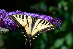 Tiger Swallowtail butterfly on purple lilac flowers Stock Photo