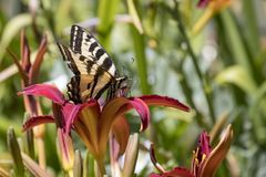 Tiger Swallowtail Butterfly on a Red Daylily. A Tiger Swallowtail rests on a red daylily in a backyard garden stock photo