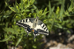 tiger swallowtail - butterfly Stock Images