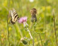 Tiger Swallowtail Butterfly su un fiore del cardo selvatico fotografia stock libera da diritti