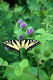 Tiger Swallowtail Butterfly on Thistle Royalty Free Stock Photos