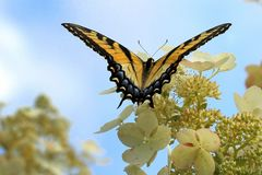 Tiger Swallowtail Butterfly. On pretty hydrangea flowers with blue sky in the background royalty free stock image