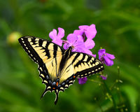Tiger swallowtail butterfly Royalty Free Stock Image