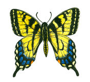 Tiger swallowtail butterfly. Watercolor and ink painting of a eastern tiger swallowtail isolated on white background Royalty Free Stock Images