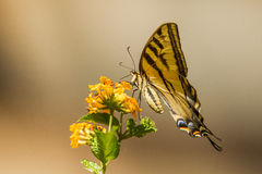 Tiger Swallowtail Butterfly. Western Tiger Swallowtail Butterfly Feeding On Lantana Flower Royalty Free Stock Photography