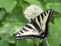 Western Tiger Swallowtail. A Western Tiger Swallowtail butterfly on a white flower royalty free stock image