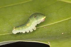 Tiger Swallowtail Caterpillar royalty-vrije stock afbeelding