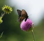 Tiger Swallowtail Dark Phase oriental Imagens de Stock