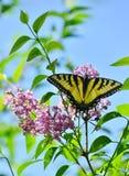 Tiger Swallowtail del este en alto parque de la lila rosada Foto de archivo