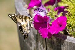 Tiger Swallowtail em uma flor cor-de-rosa imagem de stock