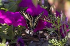 Tiger Swallowtail em uma flor cor-de-rosa imagens de stock