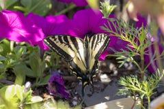 Tiger Swallowtail em uma flor cor-de-rosa fotos de stock