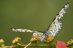Tiger Swallowtail on a flower Stock Images