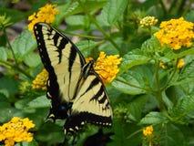 Tiger Swallowtail nas flores imagens de stock