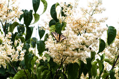 Tiger Swallowtail och blomningträd royaltyfria bilder