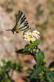 Tiger Swallowtail ocidental Fotos de Stock Royalty Free