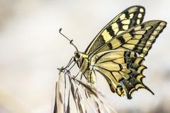 Tiger Swallowtail ocidental (rutulus de Papilio) Imagens de Stock Royalty Free