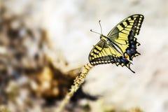 Tiger Swallowtail ocidental (rutulus de Papilio) imagens de stock