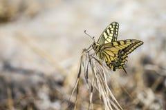 Tiger Swallowtail ocidental (rutulus de Papilio) fotografia de stock royalty free