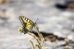 Tiger Swallowtail ocidental (rutulus de Papilio) Imagem de Stock Royalty Free