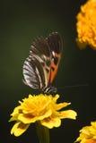 Tiger Swallowtail on orange flower Royalty Free Stock Photos