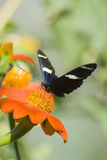 Tiger Swallowtail on orange flower Royalty Free Stock Images