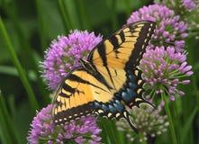 Tiger Swallowtail oriental em flores do Allium imagens de stock
