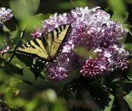Tiger Swallowtail oriental sur des lilas dans Kenora, Ontario Images stock