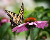 Tiger Swallowtail på Coneflower royaltyfri fotografi