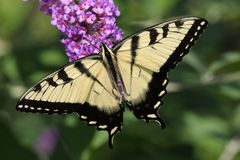 Tiger Swallowtail (papilio glaucas) Royalty Free Stock Image